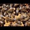 Bienen Brutwabe