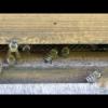Bienen Flugverkehr mit Glockenklang