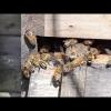 Wächterbienen