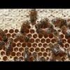 Bienen Honigwabe